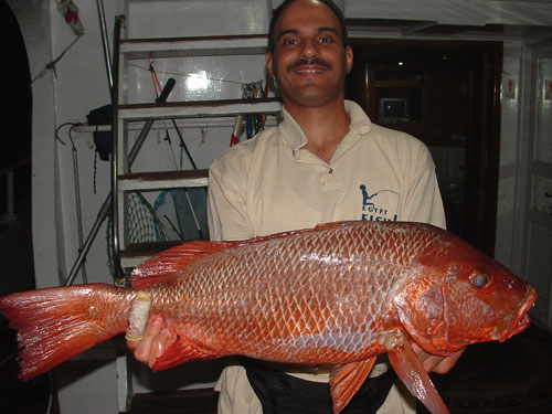 Picture of Bohar Snapper, Souther Egyptian Red Sea