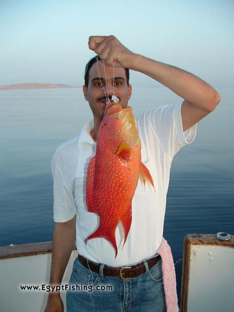 Moon Grouper (aka Moontail), Hurghada, light rod and reel