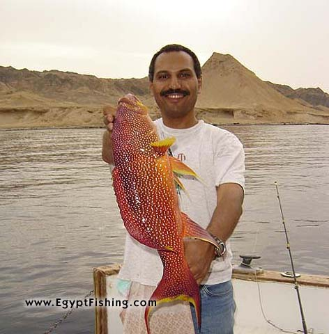 Moontail grouper in Hurghada with Shadwan island in the backdropسمكة الشريفة في الغردقة