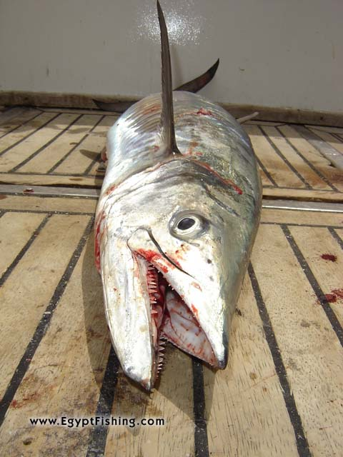 Red Sea King Mackerel or Red Sea Wahoo Fish