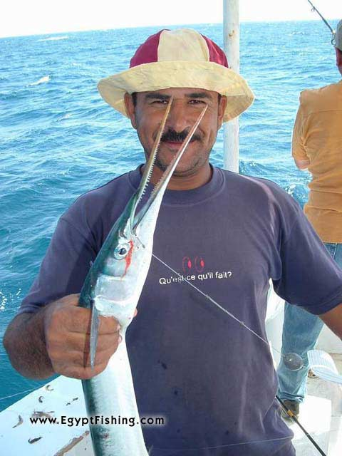 Pesca Egipto: Needle Fish,Surface Still Fishing with Natural Cut Bait,Gulf of Suez