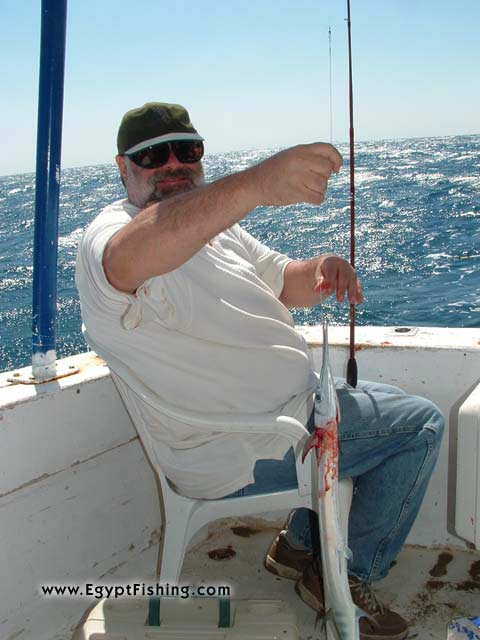 Pesca (l'egitto): Needle Fish,Surface Still Fishing with Natural Cut Bait,Gulf of Suez