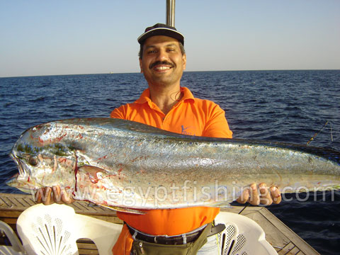 Red Sea Dorado fish photo (Coryphaena Hippurus): Saltwater fish in Egypt
