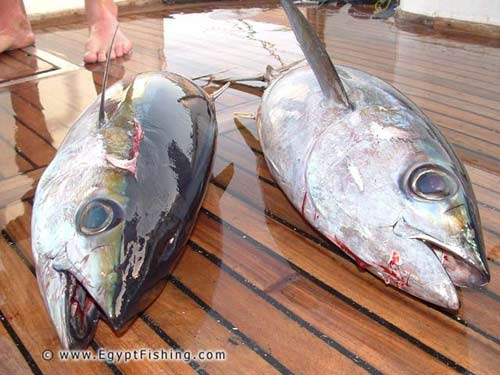 Red Sea Yellow-Fin Tuna,Deep Sea Trolling,Hurghada
