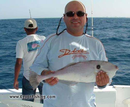 Egyptian Fishing: Red Sea Unicorn Leatherjacket (Leather Jacket), Shallow still Fishing with Natural Cut Bait,Gulf of Suez