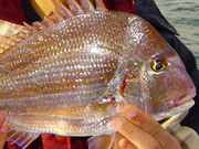 Link to Snappers and Bream Fish Photo Page