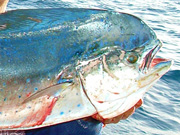 Link to Mahi Mahi (Dolphin Fish, Dorado) Fish Photo Page