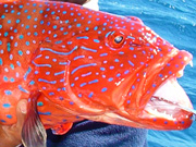 Link to Grouper Fish Photo Page 2