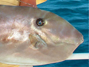 Link to Leather Jacket Fish Photo Page