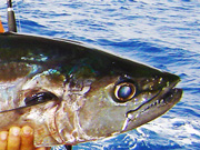 Link to Tuna and Bonito and Skipjack Fish Photo Page