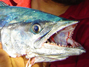 Link to King Fish (wahoo, spanish mackerel) Photo Page
